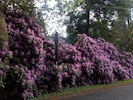 An der Straße aus Marienbad blütet im Mai Rhododendron