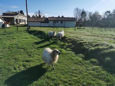Entrée et moutons