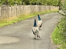 The peacocks like to roam around so be careful as you drive in.